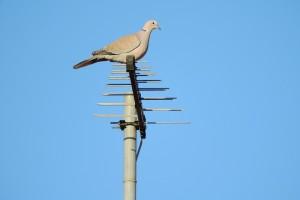 pigeon-2052393_960_720